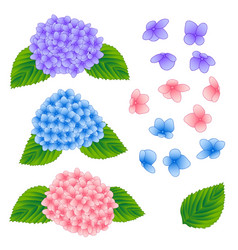 Blue pink and purple hygrangea flower isolated on vector