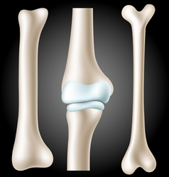 Realistic bone set vector