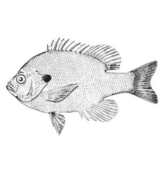 Bluegill sunfish vintage vector