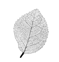 Leaf skeleton vector