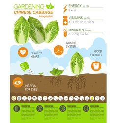 Gardening work farming infographic chinese cabbage vector