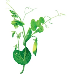 Green pea flowers vector