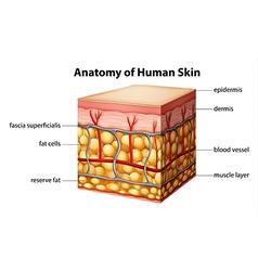 Human skin anatomy vector image