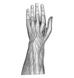 Superficial nerves of the forearm and hand vector