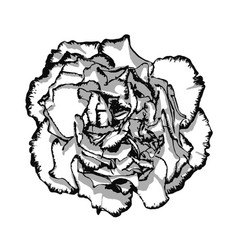 Clove flower with edging black and white vector