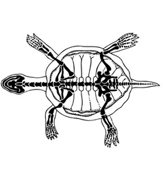 turtle skeleton vector image vector image