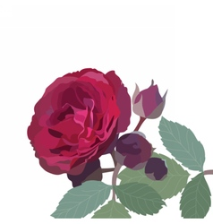 Watercolor red rose isolated vector