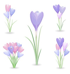 Collection of crocuses for your design vector
