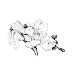 freesia flower sketch vector image