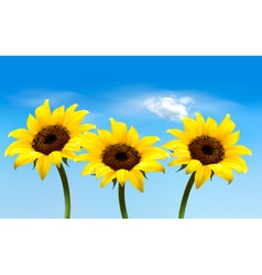 Nature background with three yellow sunflowers vector image
