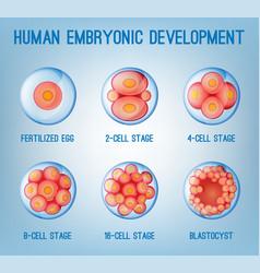 Embryo development image vector