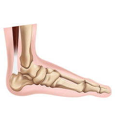 Skeleton of the foot vector