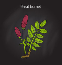 Great burnet sanguisorba officinalis medicinal vector