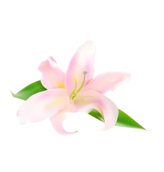 Realistic pink lily vector