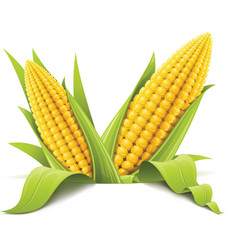 couple corncob vector image