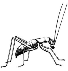 katydid ropterinae vector image vector image