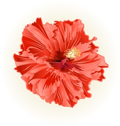Hibiscus salmon color simple tropical flower vint vector image