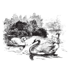 swans vintage vector image vector image