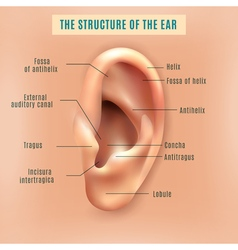 Human ear structure medical background poster vector