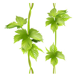 green vertical vine liana leaves hops vector image
