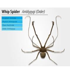 Amblypygi - genus vector image vector image