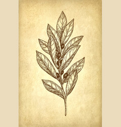 Bay laurel branch vector