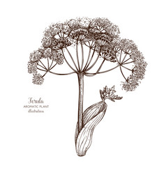 ferula plant sketch vector image