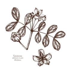 Guaiacum tree sketch vector