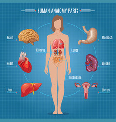 Human anatomy parts infographic concept vector