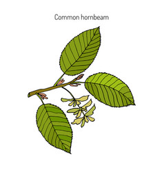 hornbeam with leaves and fruits vector image vector image