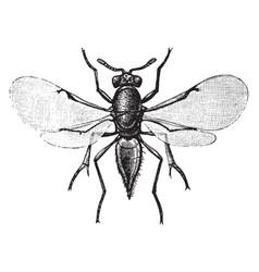 Parasitic wasp vintage vector