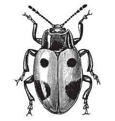 Handsome fungus beetle vintage vector