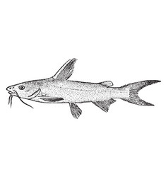 Saltwater catfish vintage vector