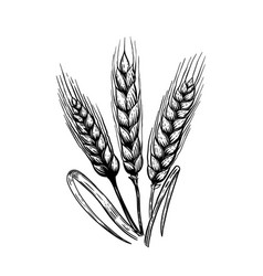 Set of hand drawn wheat in engraving style design vector