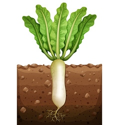Radish plant under the ground vector