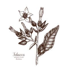 tobacco plant sketch vector image