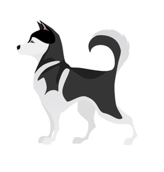 Isolated adorable black and white young husky vector