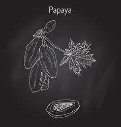 papaya carica papaya or papaw pawpaw tropical vector image vector image