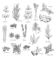 Spices and herbs sketch icons vector