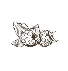 Raspberry in vintage style line art vector