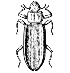 darkling beetle vector image