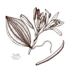 Vanilla plant sketch vector