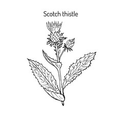 milk thistle plant vector image