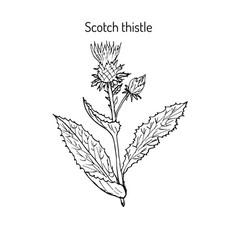 Milk thistle plant vector