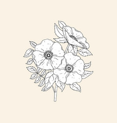 elegant botanical drawing of beautiful dog roses vector image