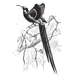 Great sickle bill bird of paradise vintage vector
