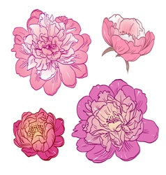 Set peony flowers isolated vector