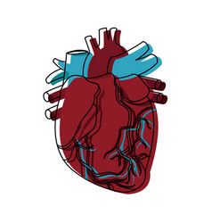 Anatomy of the human heart medical healthcare vector