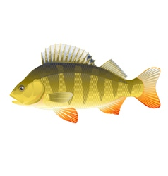 Perch vector image vector image