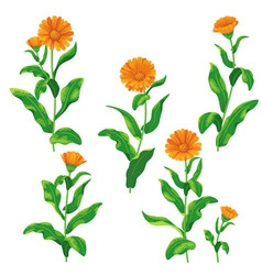 Calendula set vector